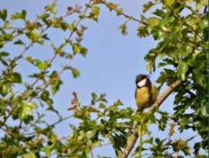 Great tit in hawthorn